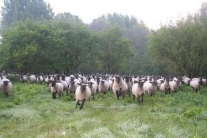 Ooien in draf naar de herder
