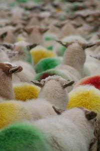 In deze tijd van het jaar vallen de kleuren van de schapen op.