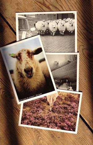 Mooie plaatjes van schapen
