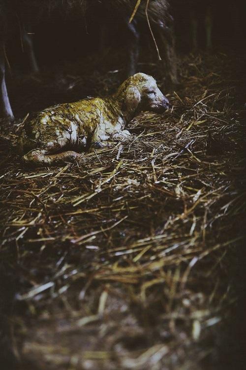 Een Kempische heideschaapje. Net geboren.