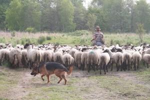 Duitse herder hoedt de kudde.