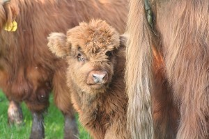 Koeien in de Broekpolder.