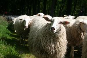 De schapen komen aan bij Zuylenstein. Ze worden hartelijk ontvangen.  De schapen kijken vrolijk terug.