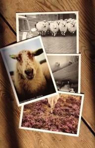 Mooie schapen platen. Foto's uit het boek 'Waar lopen de schapen?'